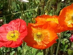 Poppies Canberra Floriade
