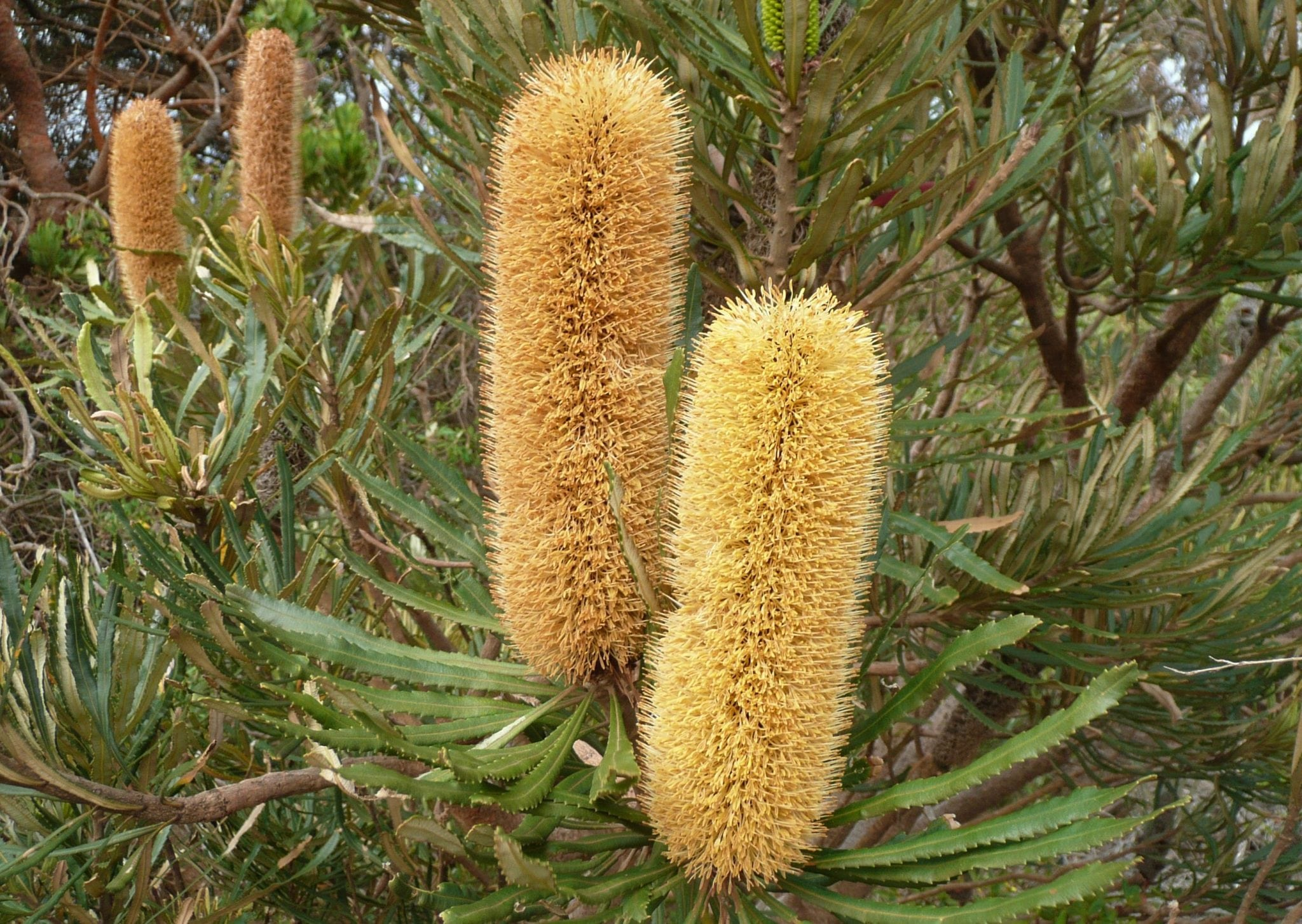 Unusual flora - Banksia