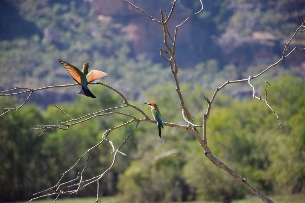 Rainbow Bee-eaters in Kakadu National Park