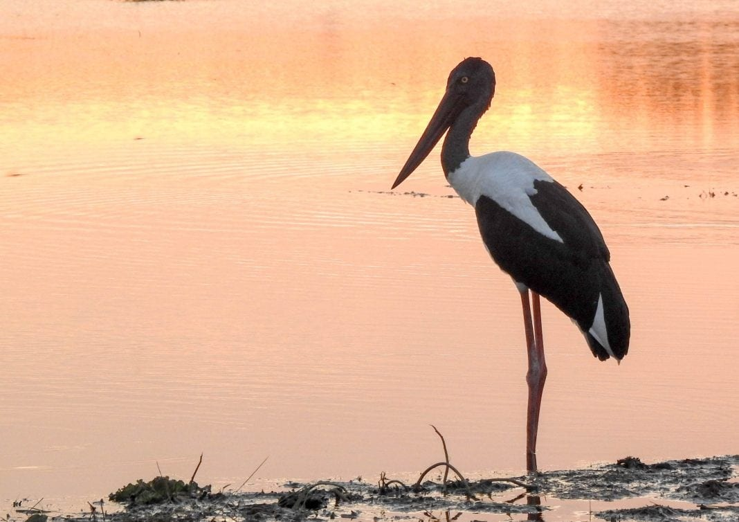 A bird watchers paradise - Jabiru at Fogg Dam