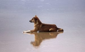 Dingos on Fraser Island