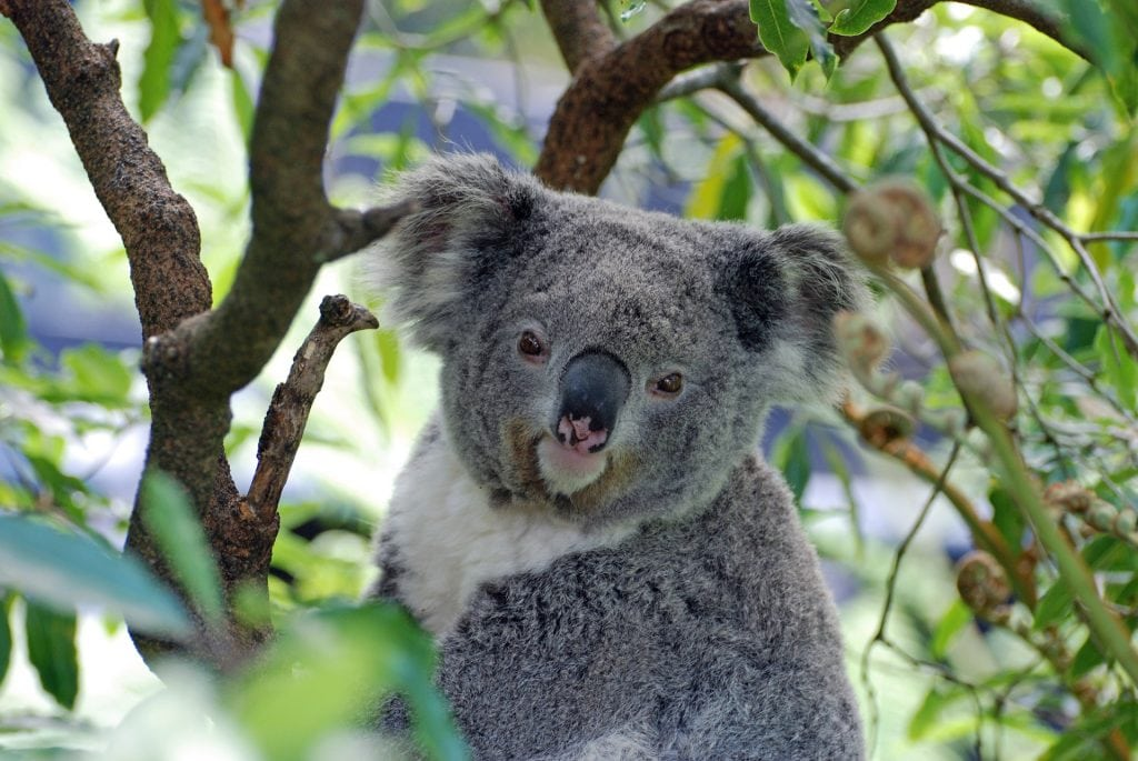 Australia Has More Than 140 Species Of Marsupials Such As Kangaroos Wallabies Koalas And Wombats We Have 55 Diffe Native