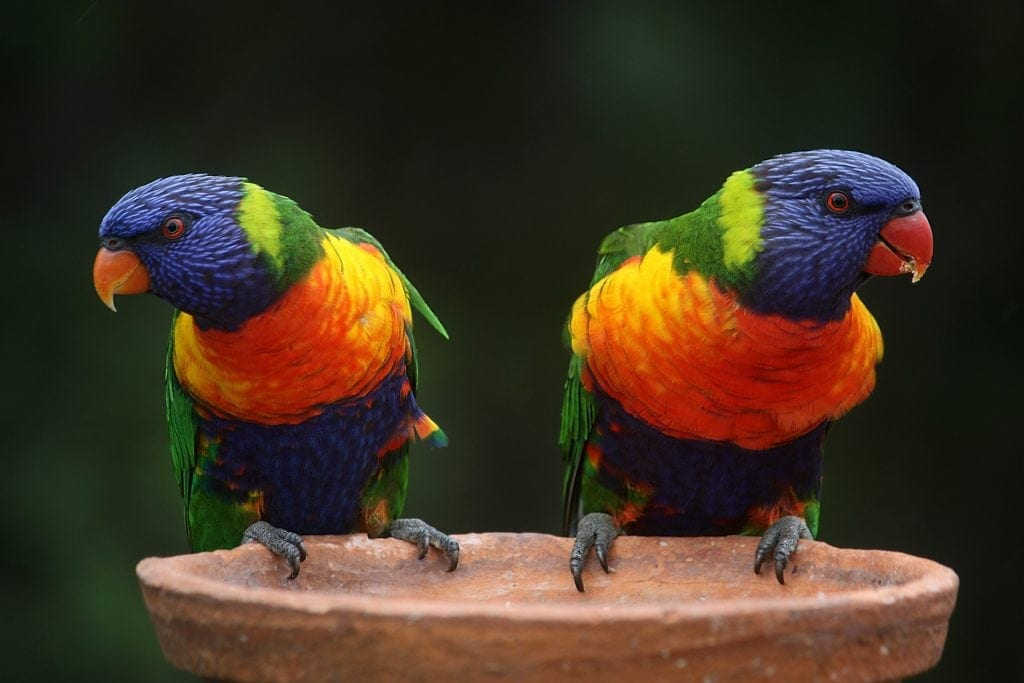 Rainbow Lorikeet Gold Coast