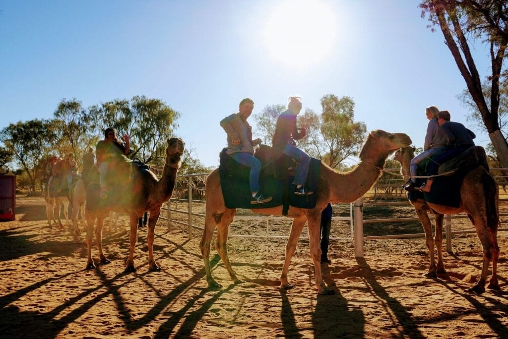 Camels in the Outback