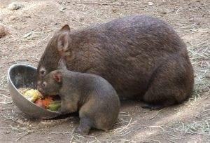 Wombat and cub