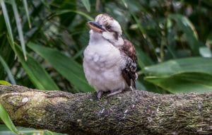 The Laughing Kookaburra