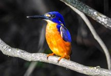 Azure Kingfisher in the Daintree Rainforest