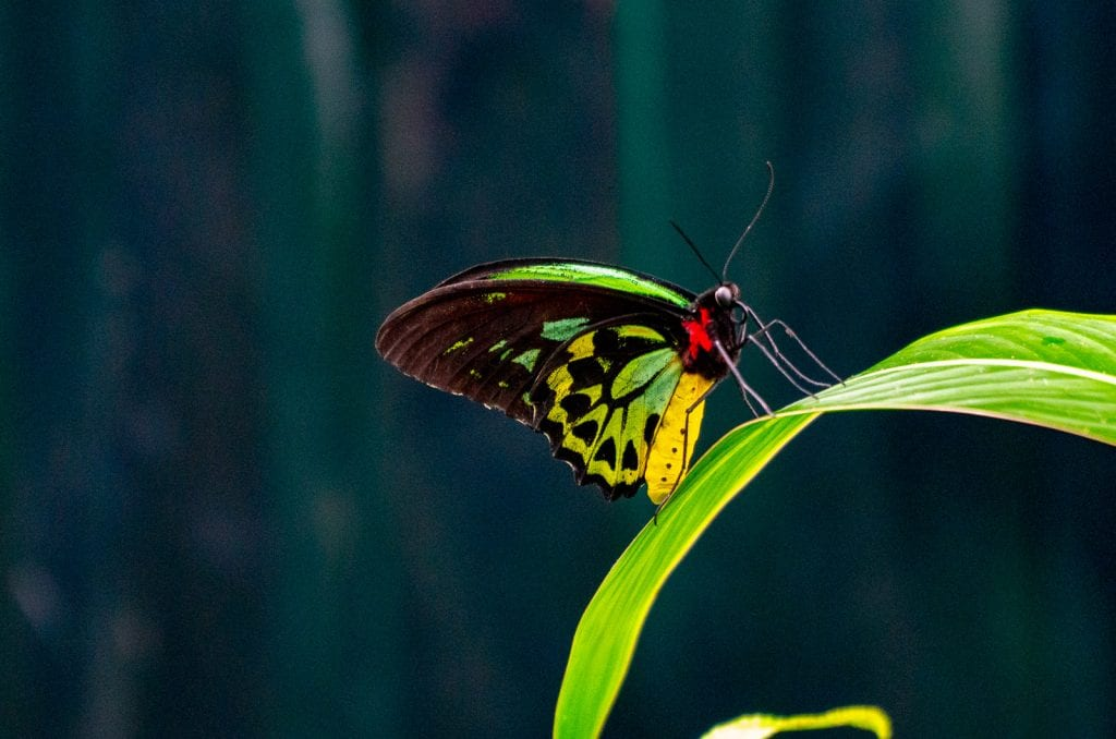 The green & gold Cairns Birdwing Butterfly