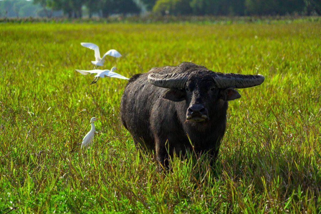 Asiatic Buffalo in Kakadu